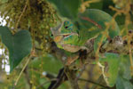 Female Rain forest Chameleon (Furcifer balteatus) preparing her tongue to grab an insect
