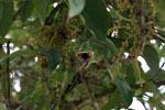 Female Furcifer balteatus preparing to grab an insect [madagascar_5101]