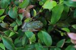 White Spotted Reed Frog (Heterixalus alboguttatus) [madagascar_5137]