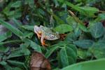 White Spotted Reed Frog (Heterixalus alboguttatus) [madagascar_5155]