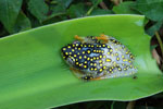 White Spotted Reed Frog (Heterixalus alboguttatus) [madagascar_5159]