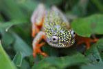 White Spotted Reed Frog (Heterixalus alboguttatus) [madagascar_5169]
