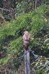 Madagascar buzzard (Buteo brachypterus)