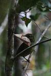 Female Velvet Asity (Philepitta castanea) gathering leaves