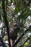 Golden bamboo lemur [madagascar_5245]