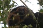Male Red-bellied Lemur [madagascar_5253]