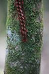 Madagascar Fire Millipede (Aphistogoniulus sp) [madagascar_5343]