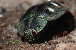 Polybothris Jewel beetle (family Buprestidae) [madagascar_5355]