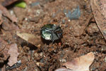 Round metallic beetle [madagascar_5444]