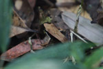 Mantidactylus melanopleura [madagascar_5515]