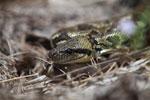 Madagascar ground boa (Boa madagascariensis) [madagascar_5594]