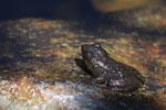 Frog [madagascar_6067]