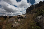 Zebu cattle in the Antanifotsy Valley