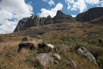 Zebu cattle in the Antanifotsy Valley [madagascar_6087]