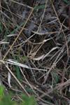 Dry grass-colored mantis (possibly Idolomorpha madagascariensis [Empusidae]) [madagascar_6095]