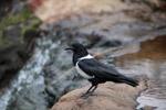 Pied crow [madagascar_6333]