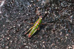 Stunningly colorful grasshopper