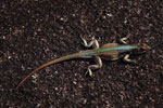 Lizard [madagascar_6679]