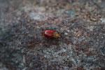Red and orange Galerucinae Leaf Beetle [madagascar_6791]