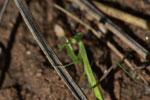 Green praying mantis [madagascar_6817]