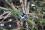 Blue dragonfly [madagascar_7285]
