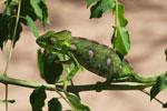Furcifer oustaleti chameleon (juvenile-bright green) [madagascar_7298]