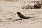 Madagascar bee-eater [madagascar_7308]