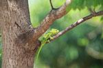 Furcifer oustaleti chameleon (juvenile-bright green) [madagascar_7323]