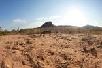 Oustalet's chameleon walking across sand near Isalo [madagascar_7347]
