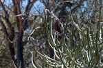 Euphorbia cedrorum [madagascar_7611]