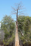 Fony Baobab (Adansonia rubrostipa)