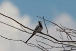 Namaqua Dove (Oena capensis) [madagascar_7667]