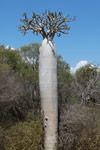Pachypodium geayi (local name: Vontaka) [madagascar_7681]