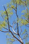 Moringa drouhardii (local name:Maroserana) [madagascar_7697]