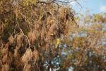 Sakalava Weavers (Ploceus sakalava) nesting [madagascar_7750]
