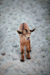 Kid (goat) [madagascar_7799]