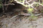 Paroedura bastardi gecko [madagascar_7841]