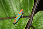 Orange and blue planthopper [mcar_0007]