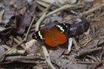 Butterfly (Aterica rabena) [mcar_0020]