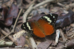 Butterfly (Aterica rabena) [mcar_0021]