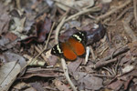 Butterfly (Aterica rabena) [mcar_0023]