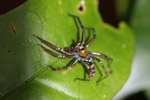 Multicolored spider [mcar_0028]