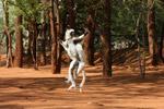 Verreaux's Sifaka dancing [mcar_0140]