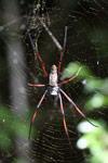 Orb spider [mcar_0178]