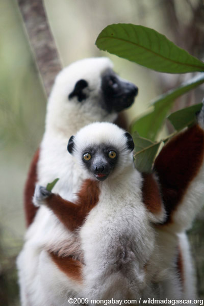 Female Coquerel's Sifaka (Propithecus coquereli) with baby. Lemurs are found only in Madagascar, but the island-nation contains over 100 species. The Coquerel's Sifaka is listed as Endangered by the IUCN Red List, largely due to deforestation. Photo by: Rhett A. Butler.