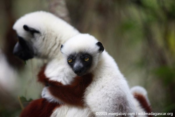 Mother Coquerel's Sifaka (Propithecus coquereli) with baby