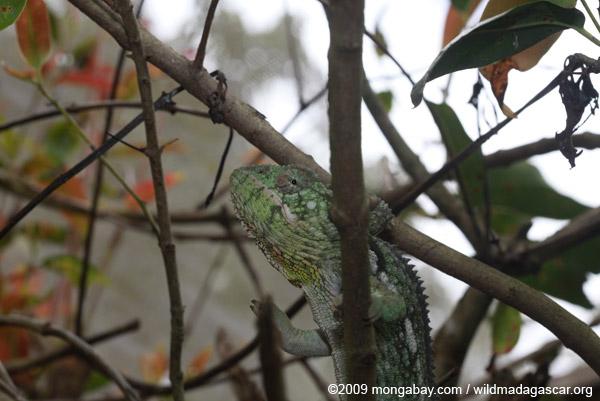 Oustalet's Chameleon (Furcifer oustaleti) [green color]