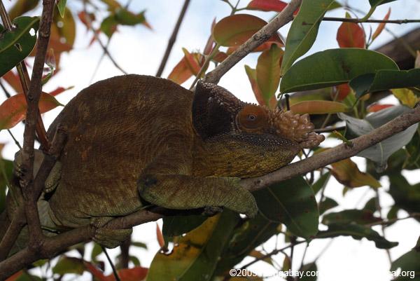 Male Parson's chameleon (Calumma parsonii) [rust-colored]
