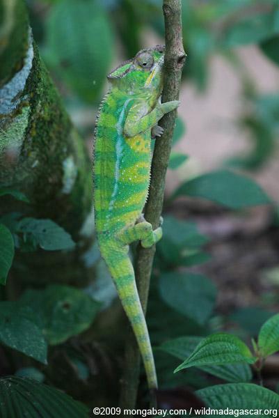 Panther chameleon (Furcifer pardalis) [yellow & green]