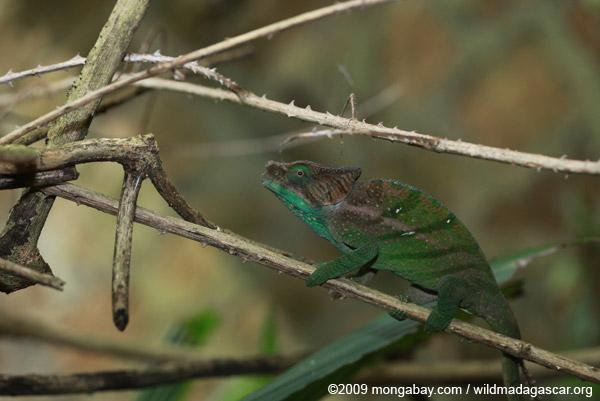 O'Shaughnessy's Chameleon (Calumma oshaughnessyi)